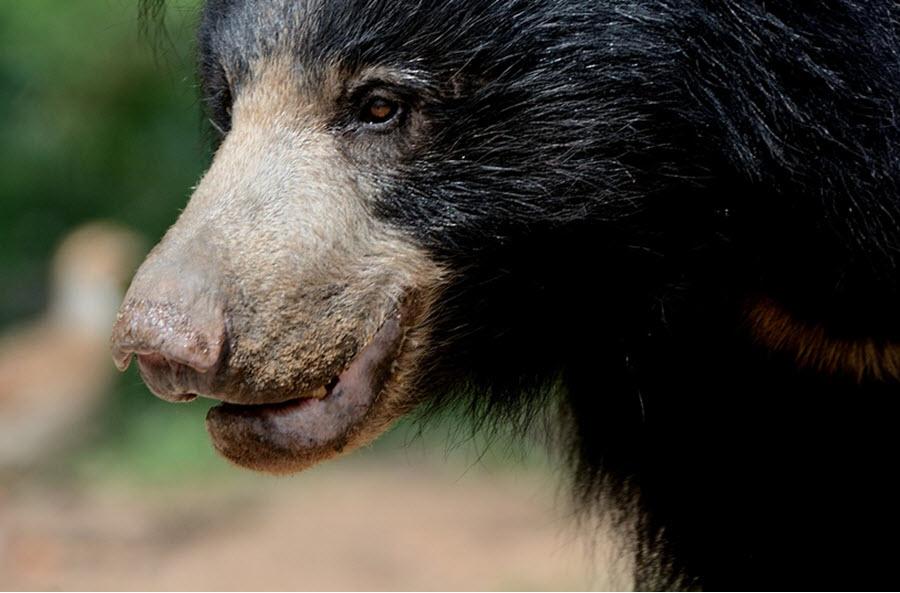 Sloth bear close up