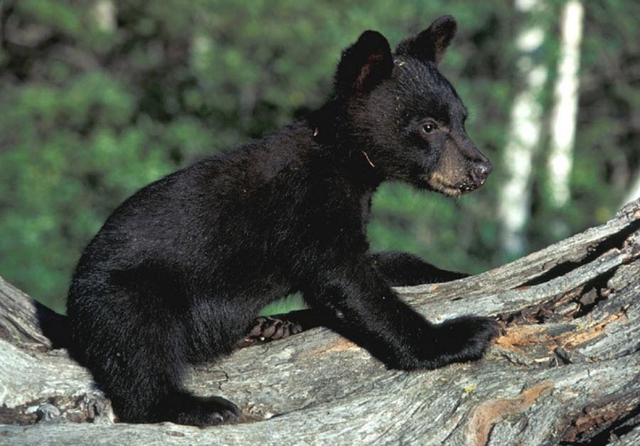 blackbear cub